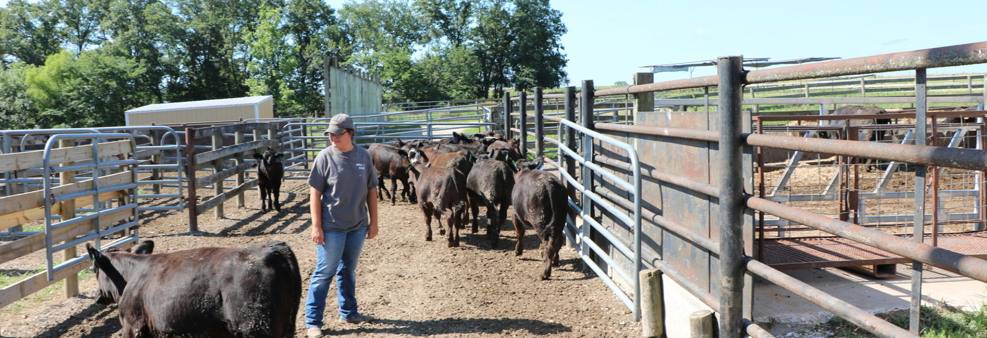 student standing in cattle area with animals